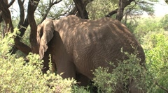 Elephant between the trees Stock Footage