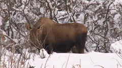 Moose cow med. close 1 Stock Footage