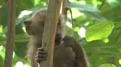 Baboon eating from tree Stock Footage