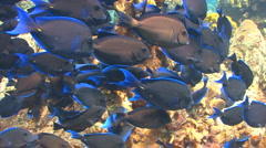 School of fish: Blue tang - stock footage