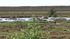 Hippo pool lake manyara Stock Footage