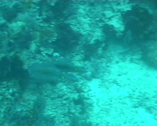 Calmar diving underwater video Stock Footage