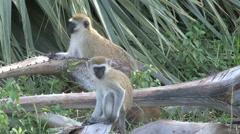 Vervet Monkeys Stock Footage