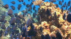 School of fish: Blue Tang coral reef Stock Footage