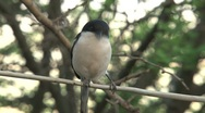 Fiscal shrike Stock Footage