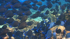 School of fish: Blue tang Stock Footage