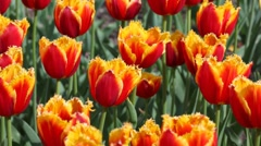 Flowerbed with orange and yellow tulips Stock Footage