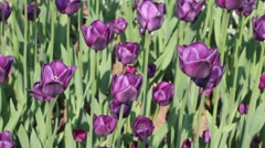 Flowerbed with violet tulips Stock Footage