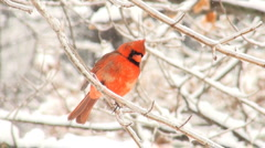 Northern Cardinal in the snow Stock Footage