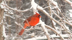 Northern Cardinal in the snow - stock footage