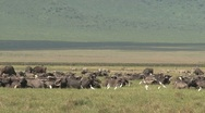 Stock Video Footage of Group African buffalos