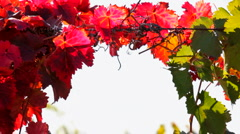 Leaves of red and green Stock Footage