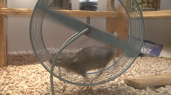 P01337 Mouse on Wheel Stock Footage