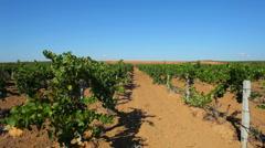 Grape field Stock Footage