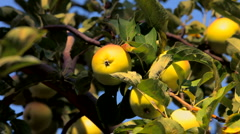Stock Video Footage of Ripening apples