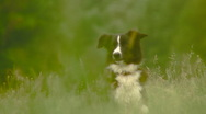 Stock Video Footage of Border Collie, sheepdog (LGD) in the grass.