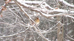 Cardinal in heavy snow slow motion Stock Footage