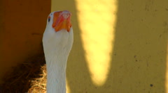 Goose shouts and worries Stock Footage