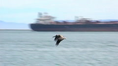 Pelican Flying and Fishing In Long Beach Harbor 1 Stock Footage