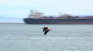 Stock Video Footage of Pelican Flying and Fishing In Long Beach Harbor 1