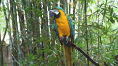P01352 Blue and Yellow Macaw Stock Footage
