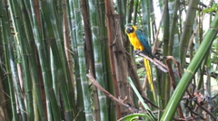 P01353 Blue-and-Yellow Macaw Stock Footage