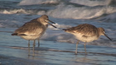 P01355 Shorebirds by Surf Stock Footage