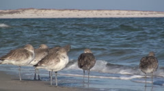 P01356 Willets by Surf Stock Footage