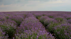 Rows of lavender bushes Stock Footage