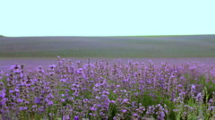 Large flower field Stock Footage