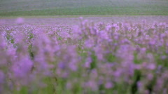 Lavender Stock Footage