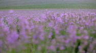 Stock Video Footage of Lavender