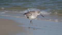 P01360 Willets Feeding on Beach Stock Footage