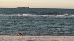 P01361 Raccoon on Beach Stock Footage