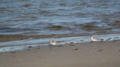 P01365 Piping Plovers at Gulf Islands National Seashore Stock Footage