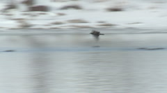 P01373 Immature Bald Eagle Flying over Ice Stock Footage