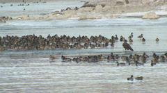 P01374 Immature Bald Eagle and Ducks Stock Footage