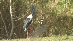 P01380 Black-necked Stork Stock Footage