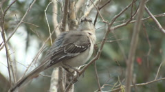 P01381 Northern Mockingbird Preening Stock Footage