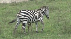 Zebra mother with young one Stock Footage