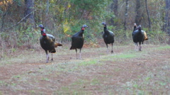 Wild Turkey Jakes  Stock Footage