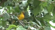 Weaver bird Stock Footage