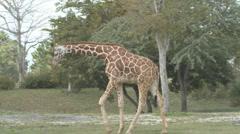 P01386 Giraffe Walking Stock Footage