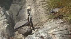 P01390 Brown Pelicans on Rock Stock Footage