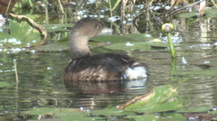 P01391 Pied-billed Grebe Grooming Stock Footage