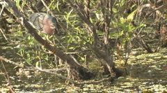 P01392 Green Heron Stock Footage