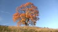 Oak tree in autumn Stock Footage