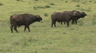 Stock Video Footage of Tree African buffalos