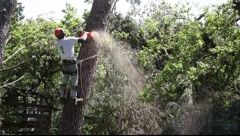 Lumberjack cuts pine tree with chainsaw  - stock footage
