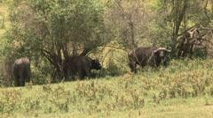 Tree African buffalos Stock Footage